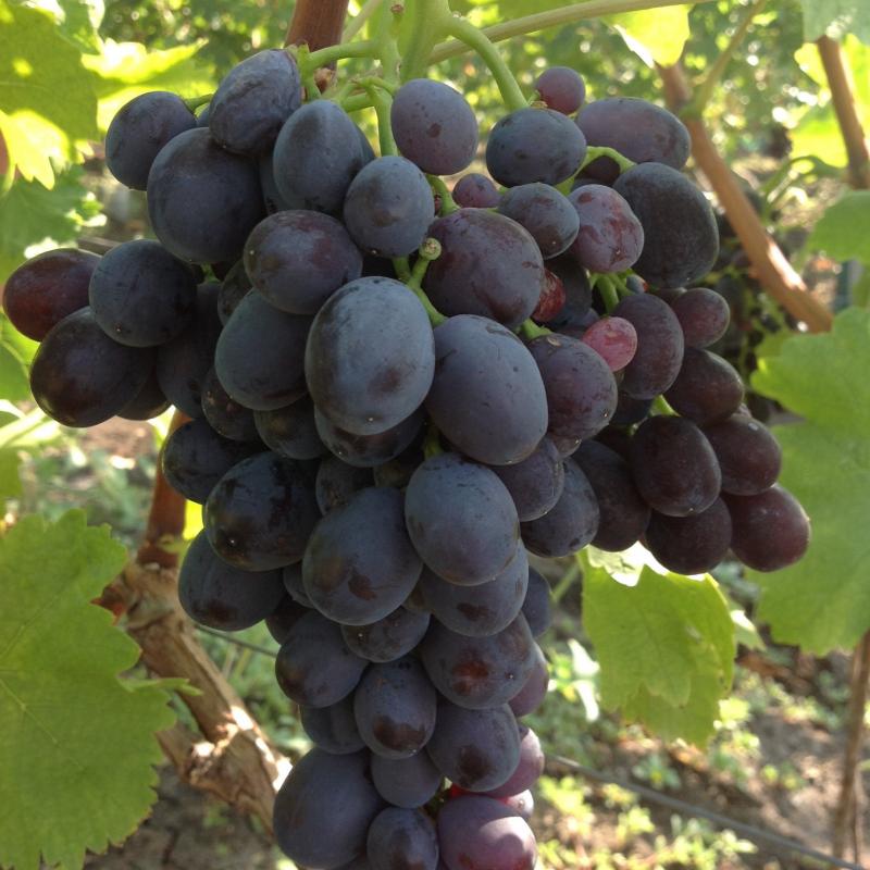 виноград подарок несветая описание сорта фото пыль, грязь могут